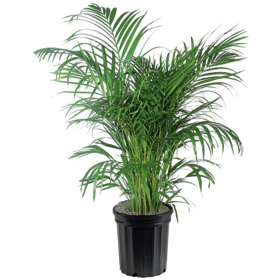 Areca Palm Pokok Yang Sesuai Di Dalam Rumah
