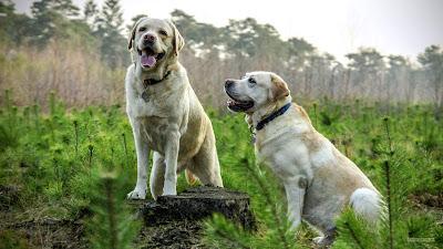 Hond wallpaper met twee labradors in de natuur.