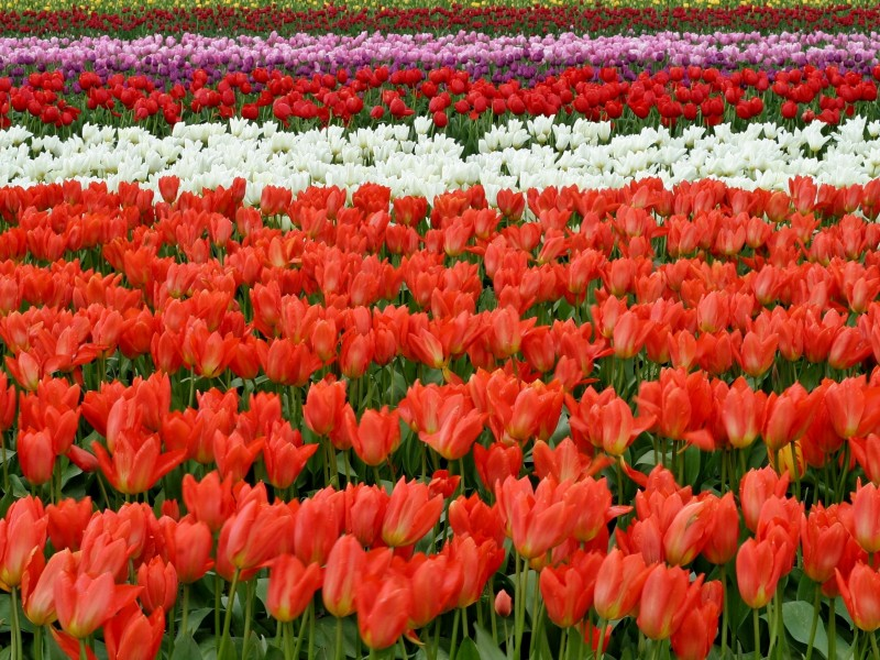 Download Red White and Pink Flower Fields HD wallpaper. Click Visit page Button for More Images.