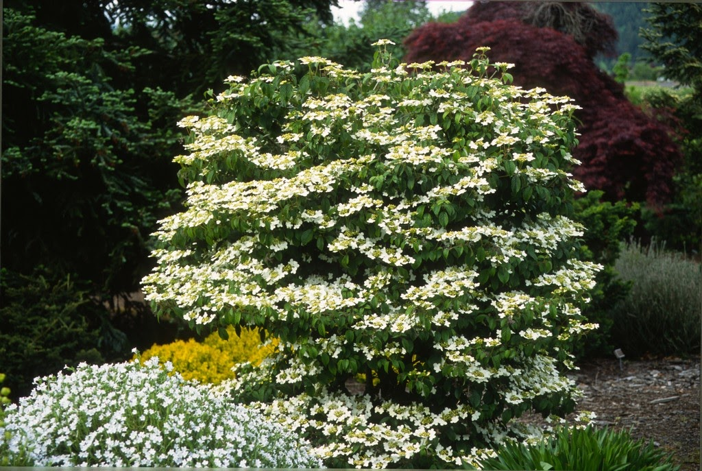 flora wonder blog viburnum when you can mulch them. Black Bedroom Furniture Sets. Home Design Ideas