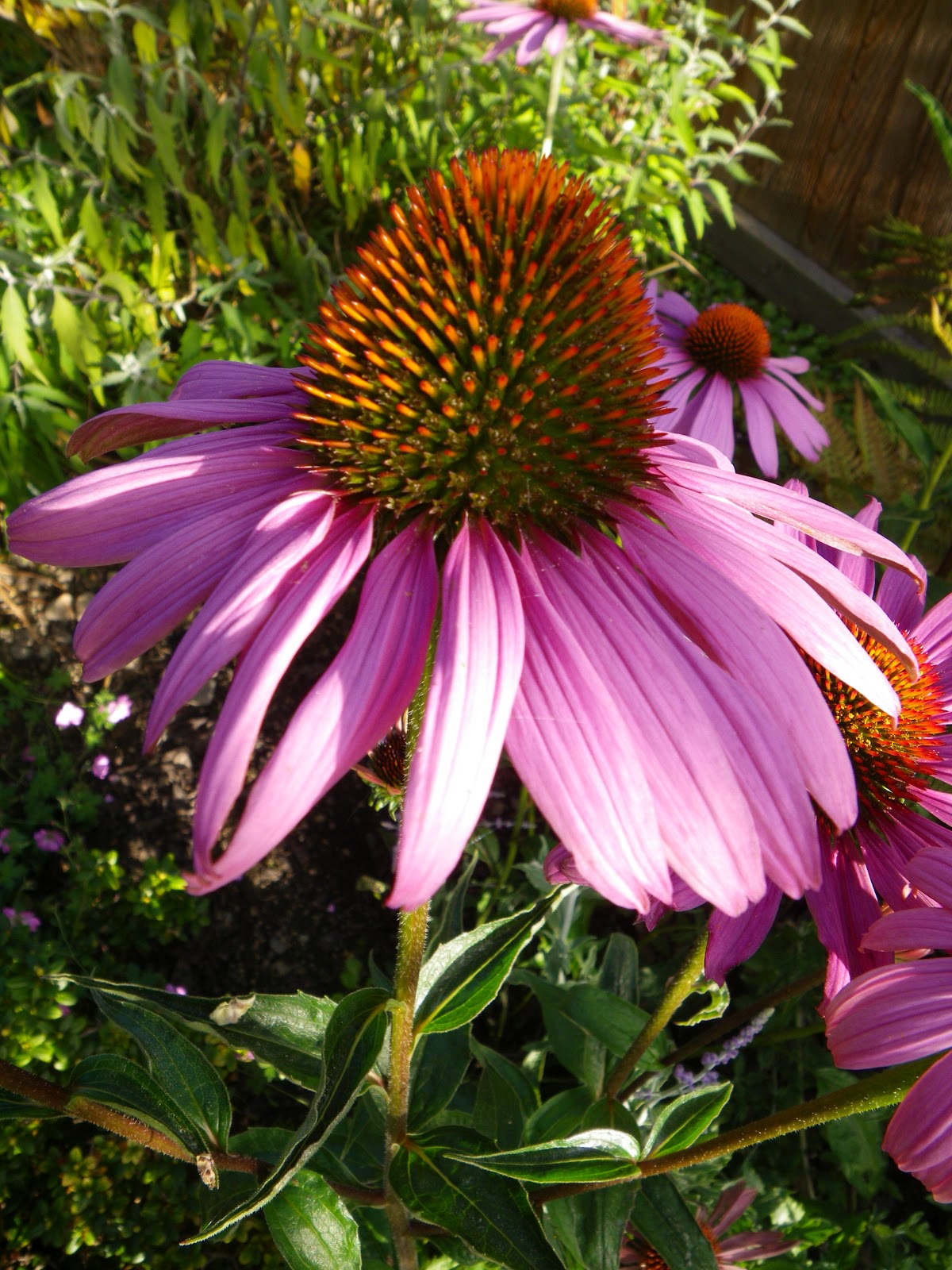 I M In The Garden Today Echinacea Cone Flower