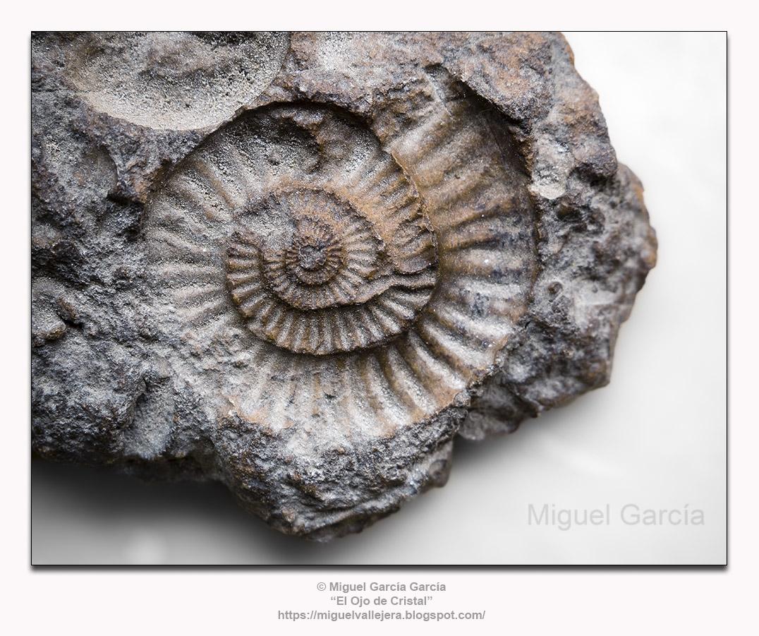 Impresión fosilizada de Arietites.
