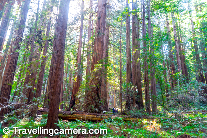 In above photograph, find 3 human bodies and then compare them to the size of these trees at Muir Woods. That would give you some sense about the scale we are talking about. Walking around these trees is certainly very special