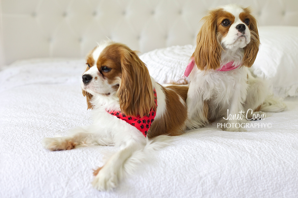 cavalier king charles spaniels love our new vintage pink linen cabinet