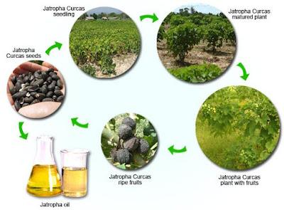 مراحل إنتاج زيت الجاتروفا
