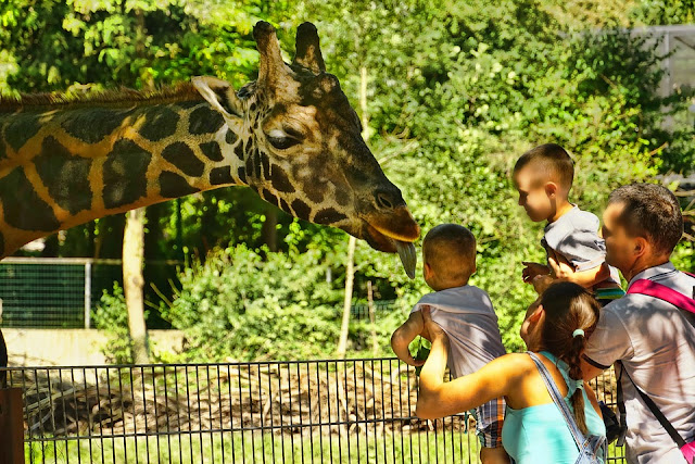 giraffe feeding in zoo abu Dhabi