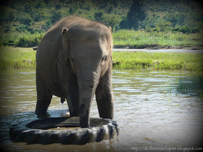 Elephant in river playing with a tyre (tire)