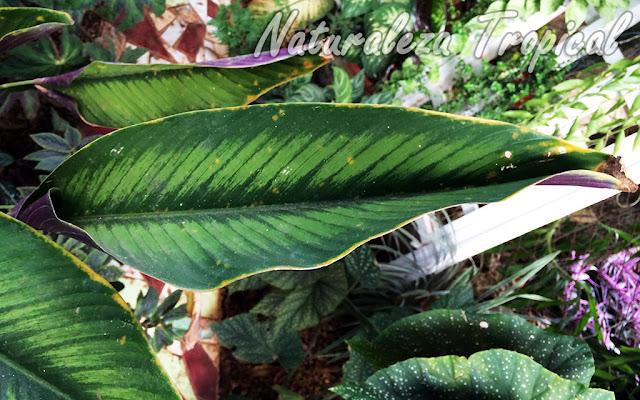 Pérdida de turgencia y plegamiento de la hoja de una Calatea, género Calathea