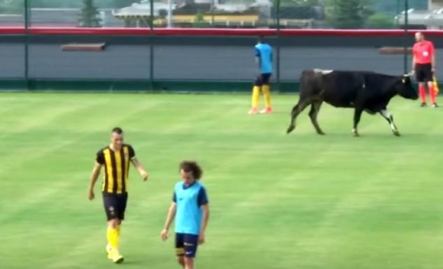 Μια...αγελάδα διέκοψε ποδοσφαιρικό αγώνα!!