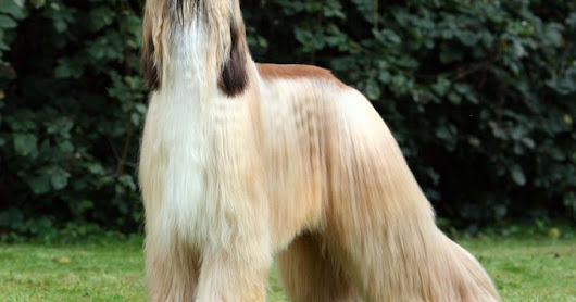 "AFGHAN HOUND "" Berwibawa dan Bermartabat "" 