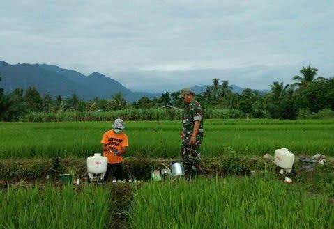 Babinsa Koramil 05/Tanjung Tiram Lakukan Penyemprotan Hama Pada Tanaham Padi