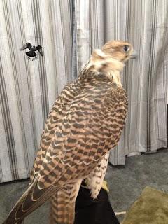 الصقر الحر الجرودي الكامل…falco cherrug hendersoni :