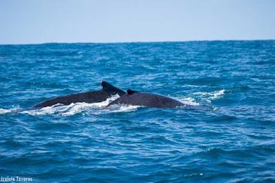 baleias, baleia jubarte, observação de baleias, whalewatching, Megaptera novaeangliae, whale, baleia corcunda, baleia cantora, praia do forte, Bahia, fotografia de natureza, natureza, turismo