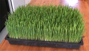 hierba de trigo para adelgazar