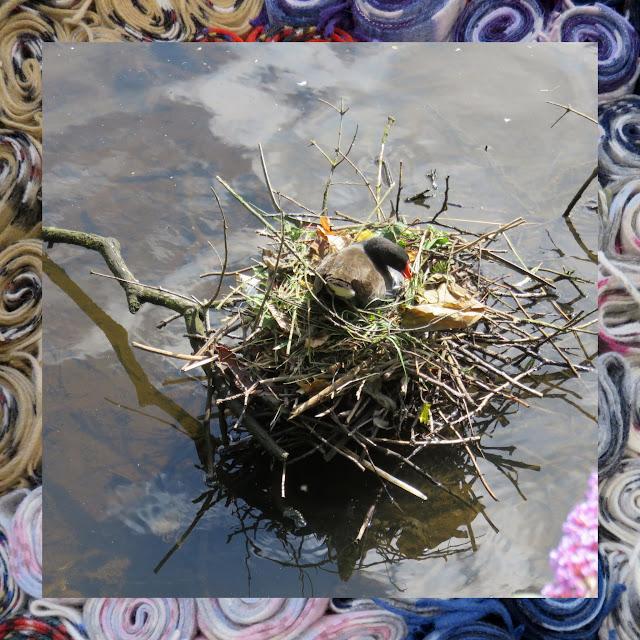 The Water of Leith in Edinburgh - Nesting Moorhen