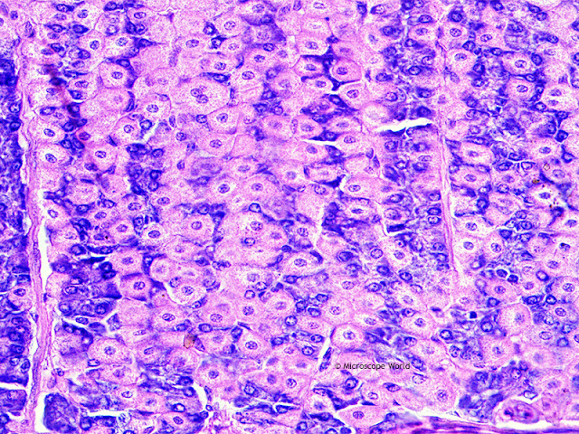 Stomach lining microscopy image at 400x.