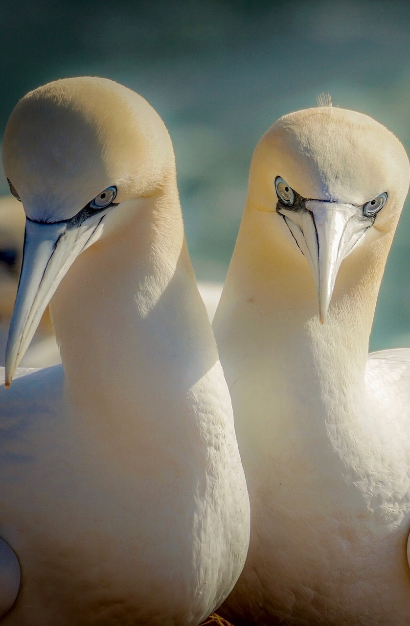 A pair of northern gannets.