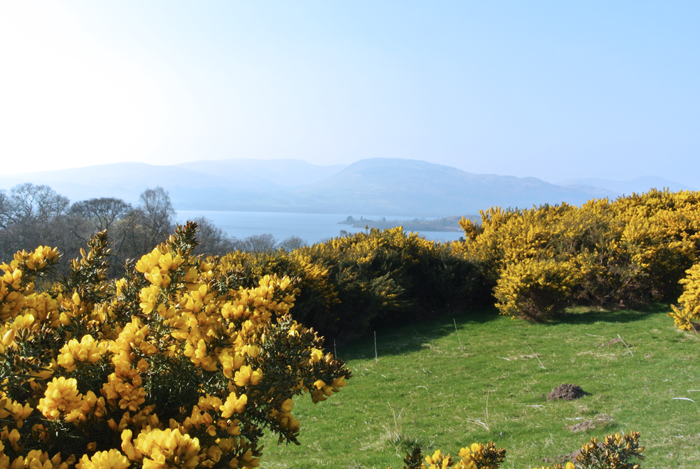 Gorse near Loch Lomond