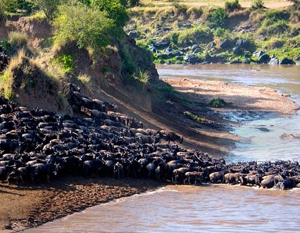 Why Not Kenya Wildebeest Migration