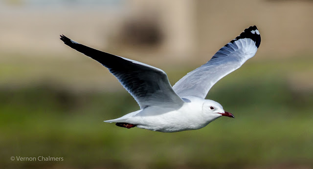 Hartlaub's Gull over Milnerton Lagoon / Woodbridge Island, Cape Town