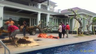 Jual pohon kamboja fosil batang besar murah