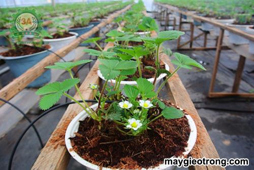Cách xử lý xơ dừa làm giá thể trồng cây: ứng dụng xơ dừa trồng dâu tây