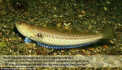 Weeper, ikan langka paling beracun di dunia