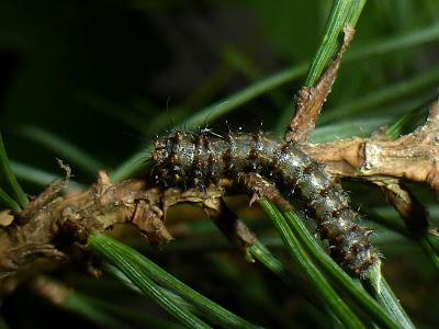 Graellsia isabellae caterpillar