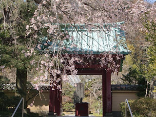 光則寺の枝垂桜
