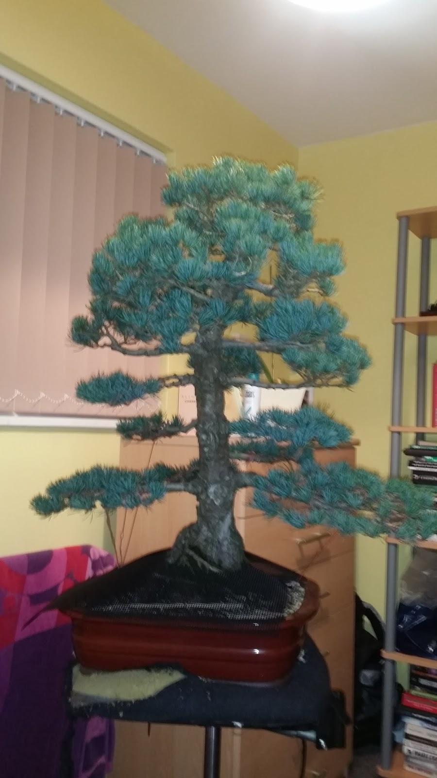 Fabulous Dj Bonsai A Lovely Japanese White Pine Pt 2 Wiring Cloud Pendufoxcilixyz