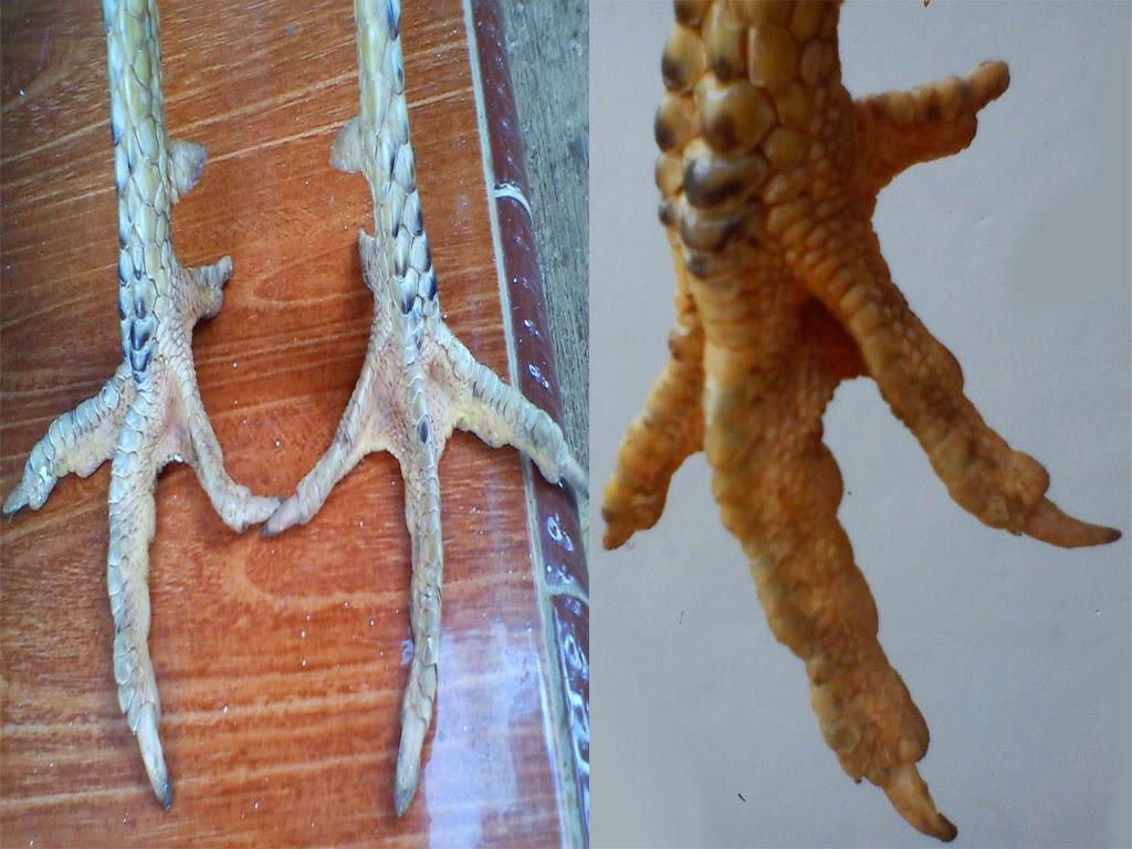 Misteri Sisik Kaki Buaya Ayam Bangkok Aduan