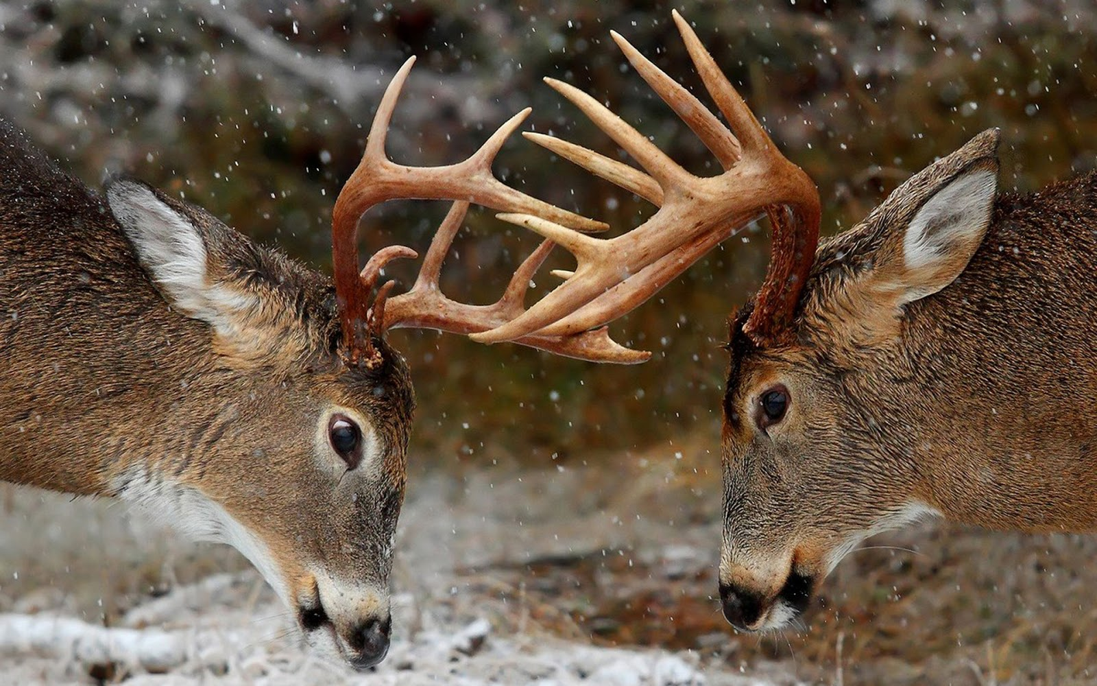 Beautiful Wallpapers: deer wallpaper