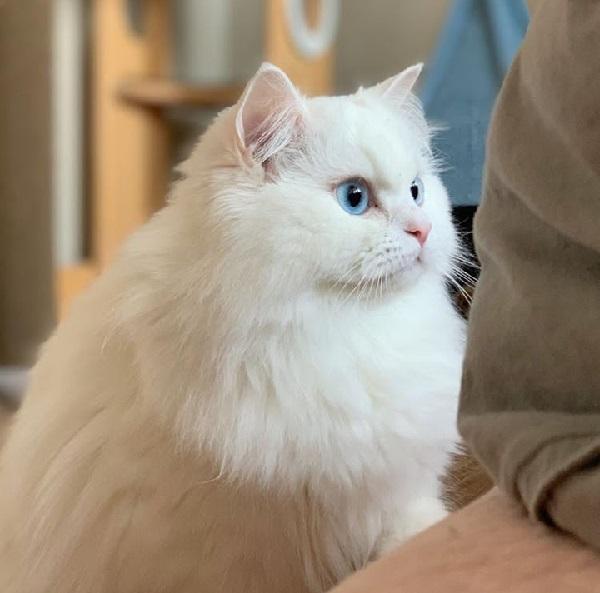 Unduh 94+  Gambar Kucing Persia Termahal Di Dunia Terbaik HD
