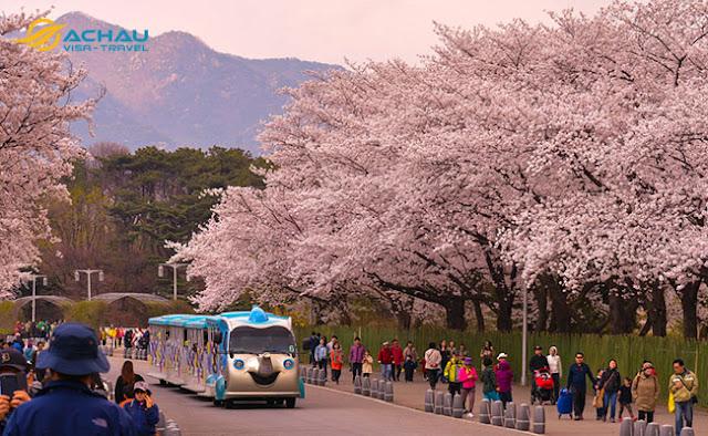 Du lịch Hàn Quốc ngay kẻo lỡ mùa hoa anh đào11