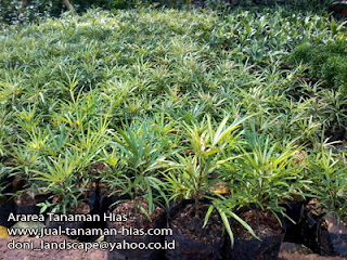 Tanaman Ararea | Jual Pohon Ararea | Ararea tanaman Border