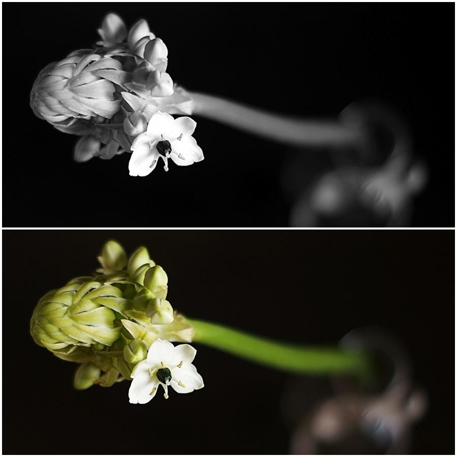 Blog + Fotografie by it's me!   fim.works - Collage Milchstern Gärtnerschreck, Makro auf Schwarz SchwarzWeissBlick