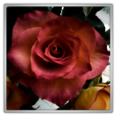 Rose by Marjolein kucmer