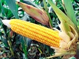Maíz amarillo agricultura de Ucayali