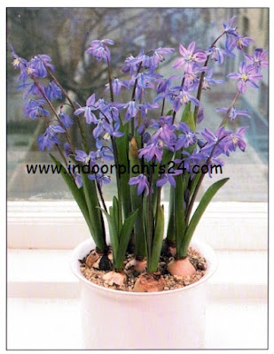 scilla bulbs guidelines