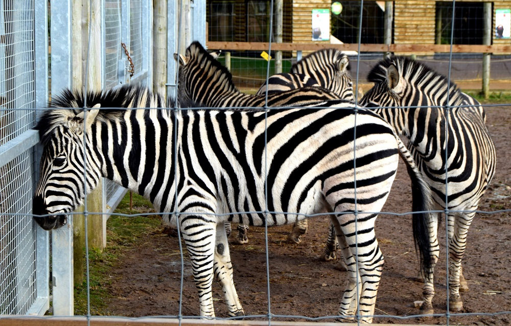 Zebra: Wordless Wednesday Blog Hop