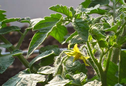 Tomato Bloom Spray On Buds Jeremiahmunger S Blog