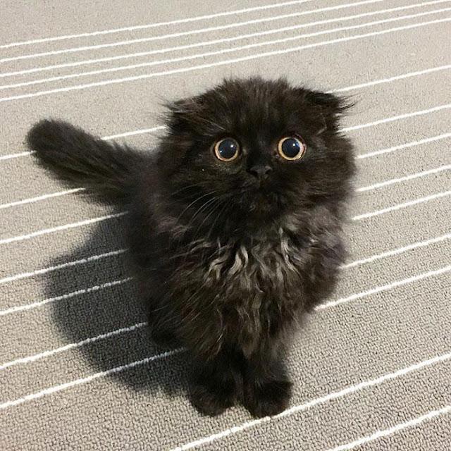 Em mèo mắt to giống hệt nhân vật hoạt hình Ghibli