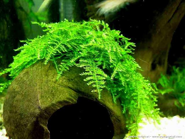 rêu christmas xanh non dễ trồng