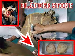 Cara Mengobati Bladder Stone pada Kura Kura Beserta Penyebabnya