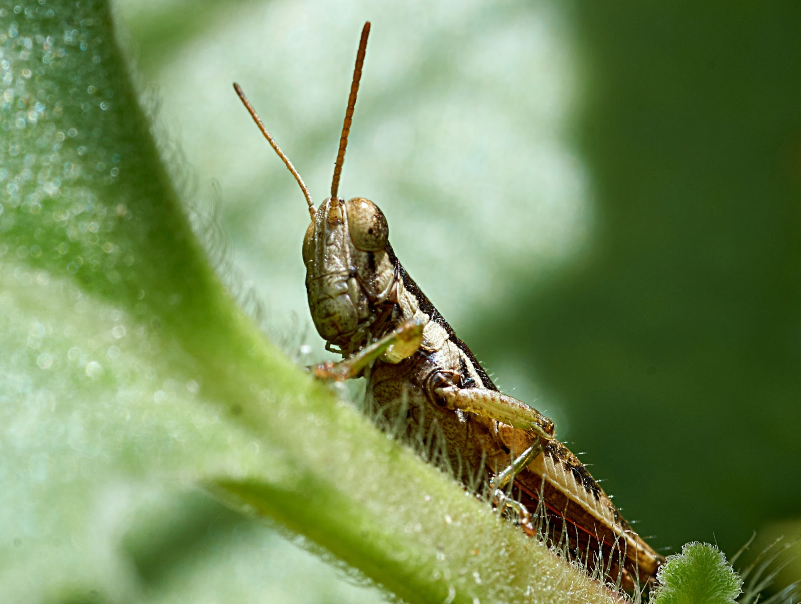 grasshopper,Philippines,macro photography,mean,lesons