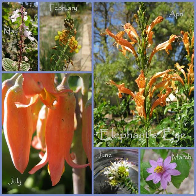 Plectranthus madagascariensis, Bulbine frutescens, Tecoma capensis  Cotyledon orbiculata, Agathosma apiculata, Grewia occidentalis