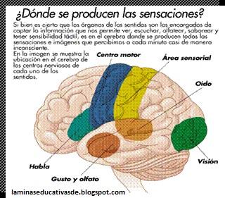 El cerebro. Los 5 sentidos