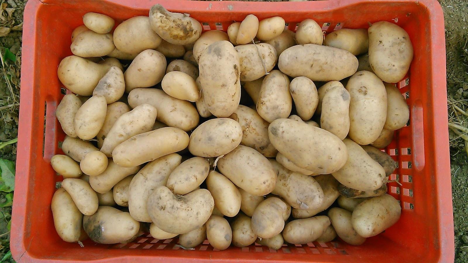 La cruna dell 39 ago la raccolta delle patate calogero pinzone for Raccolta patate