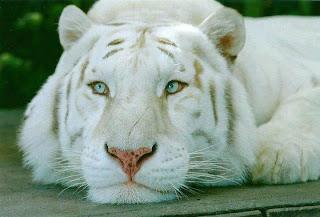 Tigre Blanco pensativo