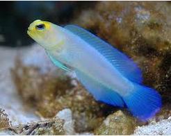 Ikan Hias Air Laut Jawfish